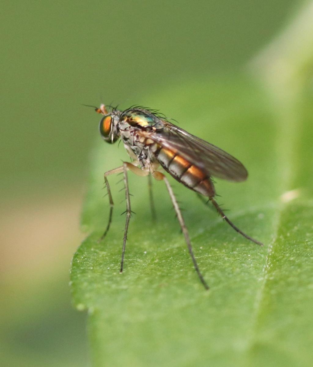 Dolichopodidae Img_6611