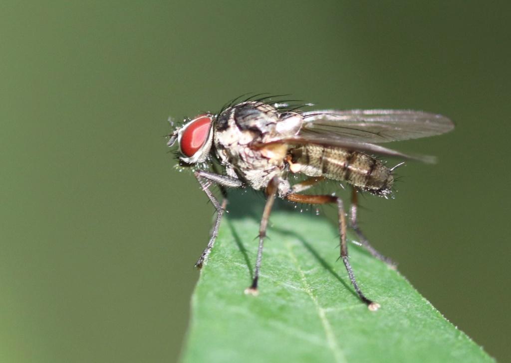 Anthomyiidae ? Img_6711