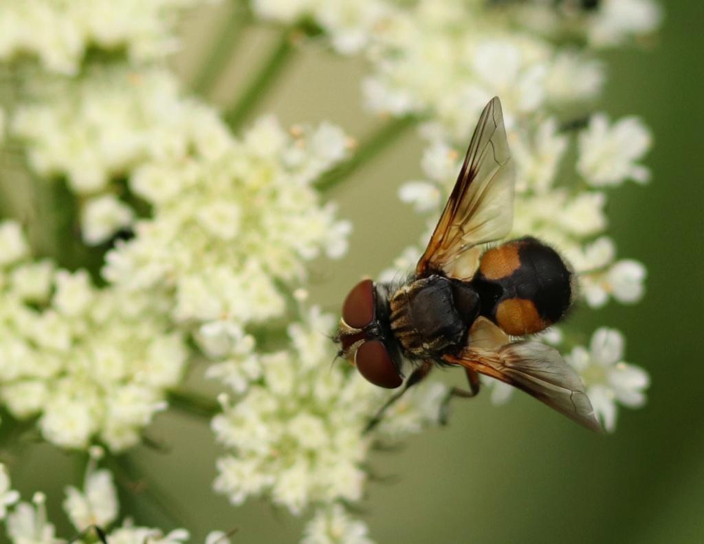 [Ectophasia sp.] Ectophasia leucoptera Img_6811