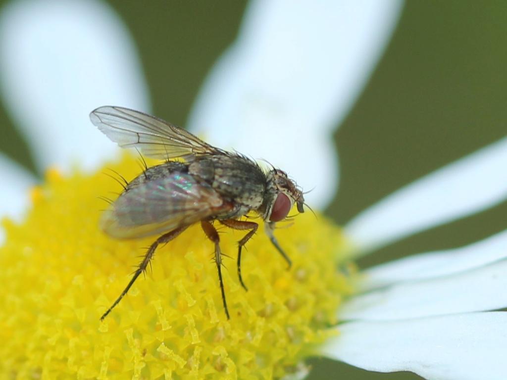 [Siphona sp.] une anthomyidae ? Img_7213