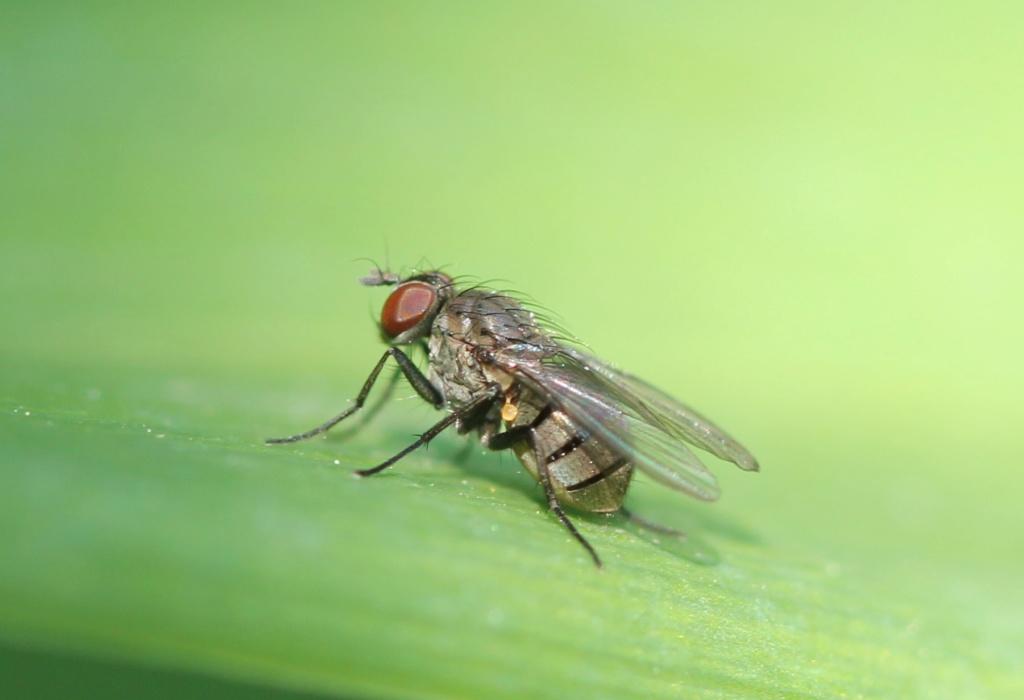[Anthomyiidae sp.] petite inconnue Img_7317