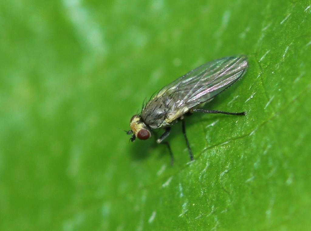 [Phytomyzinae sp.] Minus Img_7318