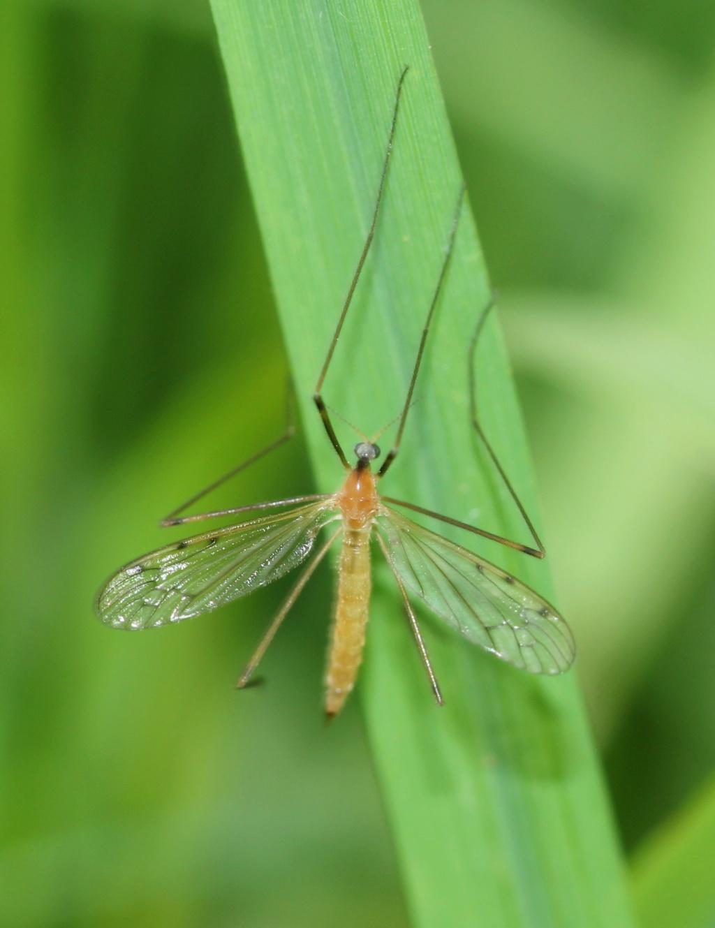 [Limonia phragmitidis] Limoniidae ?  Img_7320
