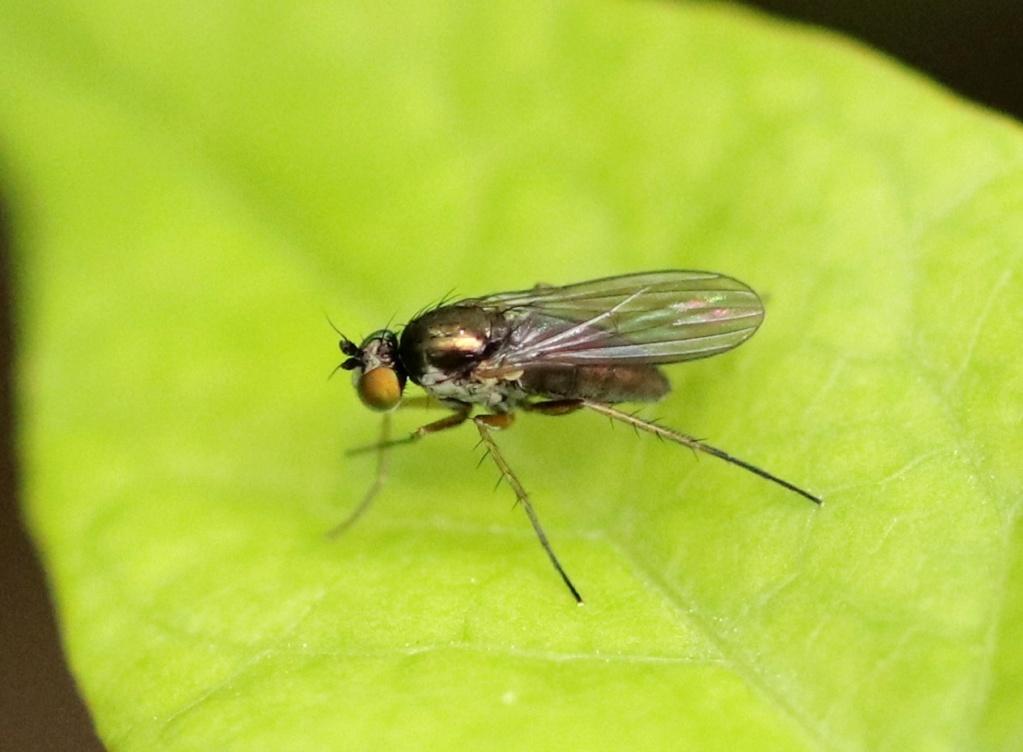 Dolichopodidae Img_7410