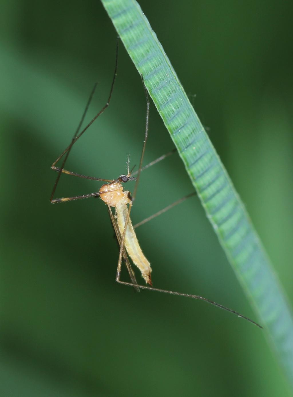 [Limonia phragmitidis] Limoniidae ?  Img_7413