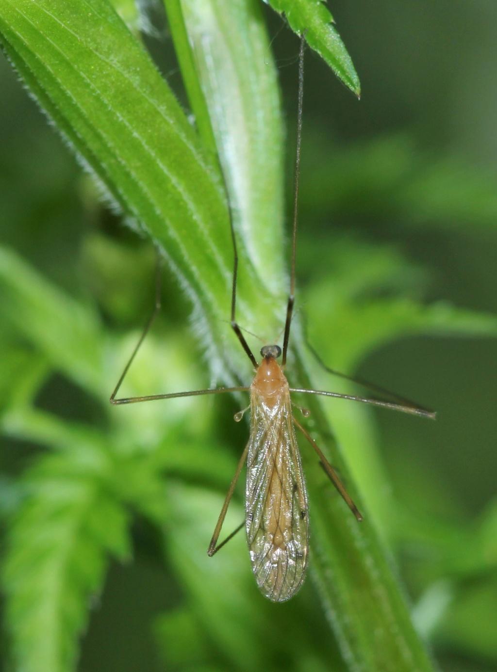 [Limonia phragmitidis] Limoniidae ?  Img_7414