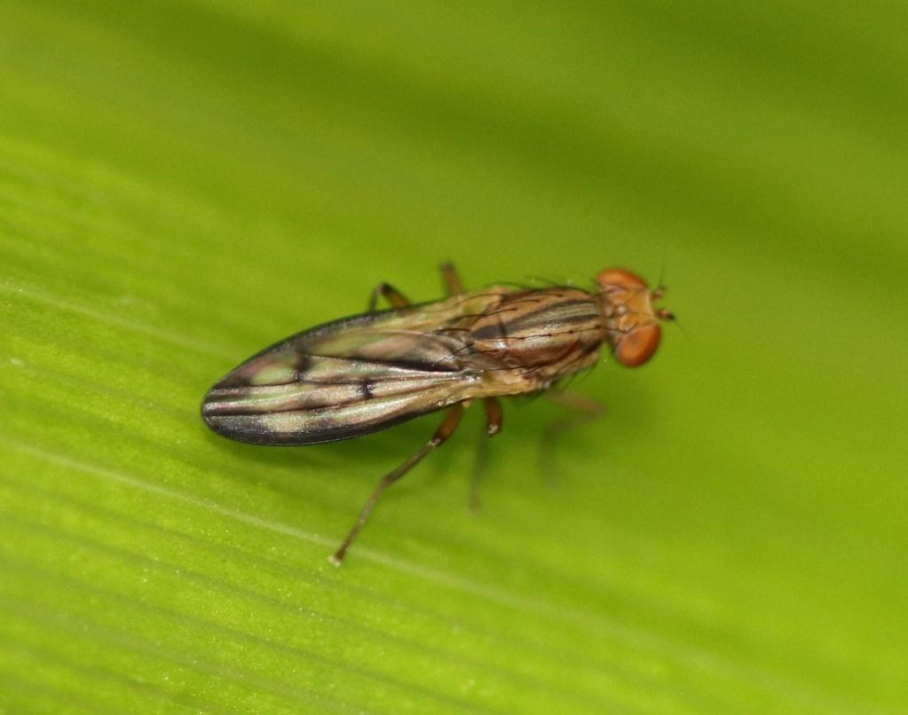 [Opomyza germinationis/petrei] Opomyza germinationis ? Img_7610