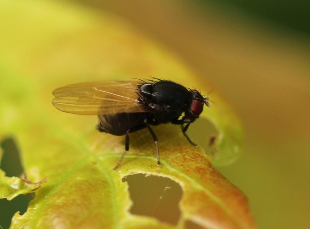 [Minettia longipennis] Drosophile Img_7715