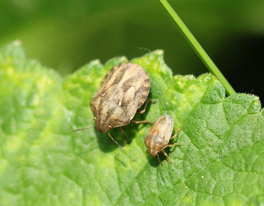 [Eurygaster testudinaria & Neotiglossa leporina] A vos marques ! Img_8111
