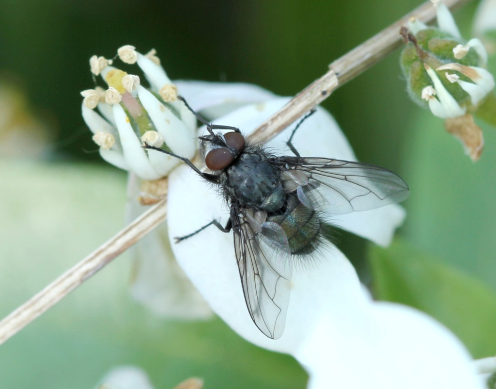 [Bellardia sp.] Bellardia vulgaris  ? Img_8818
