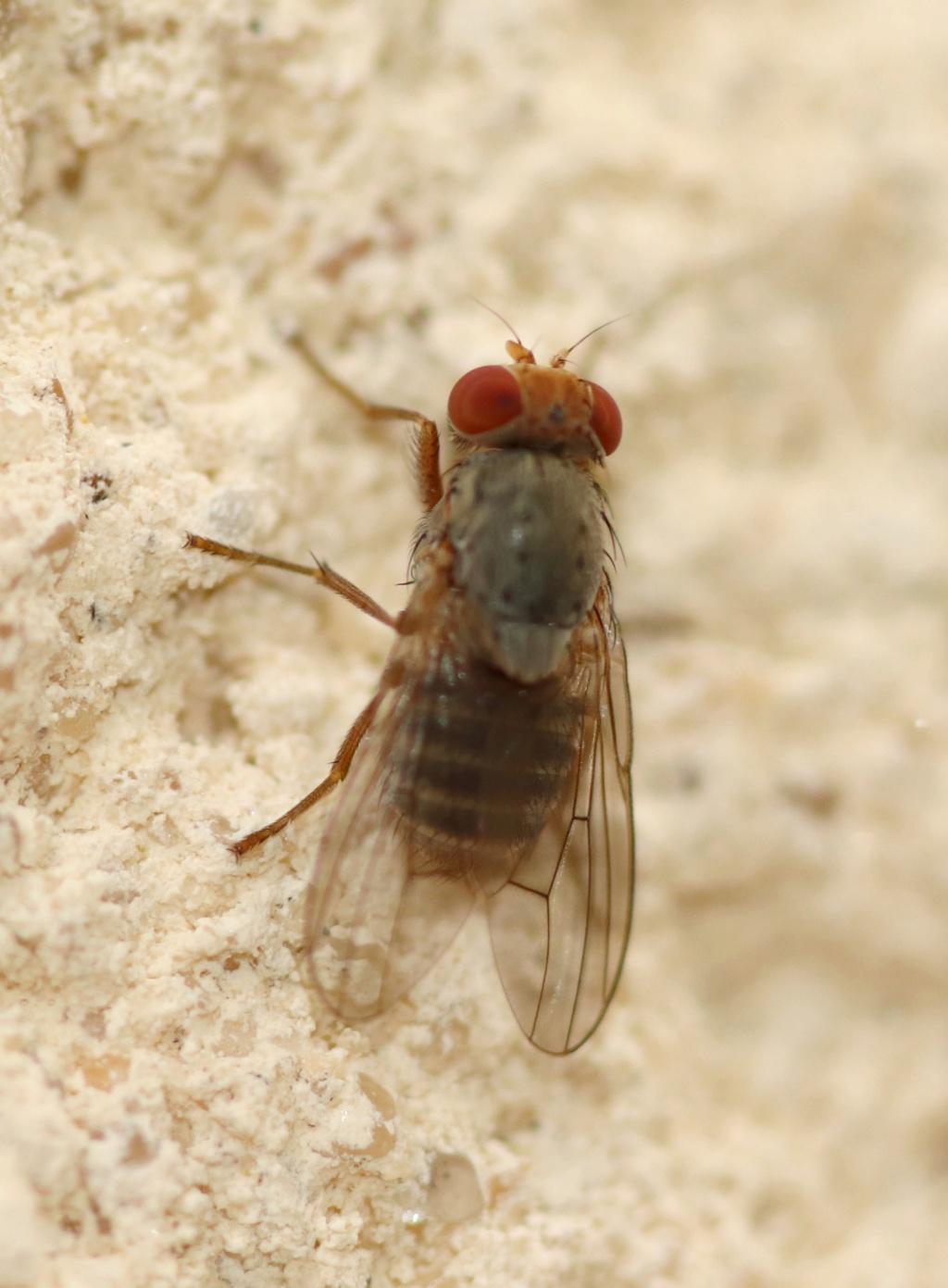 [Prosopomyia pallida] Heleomyzidae ? Img_9112