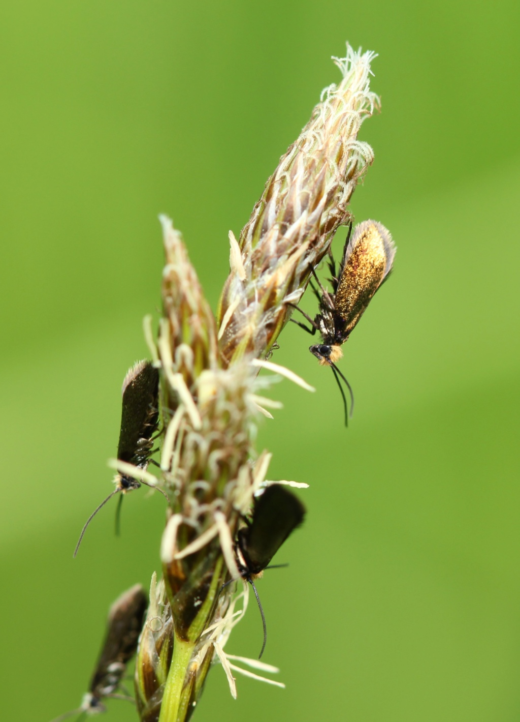 Micropterix calthella Img_9913