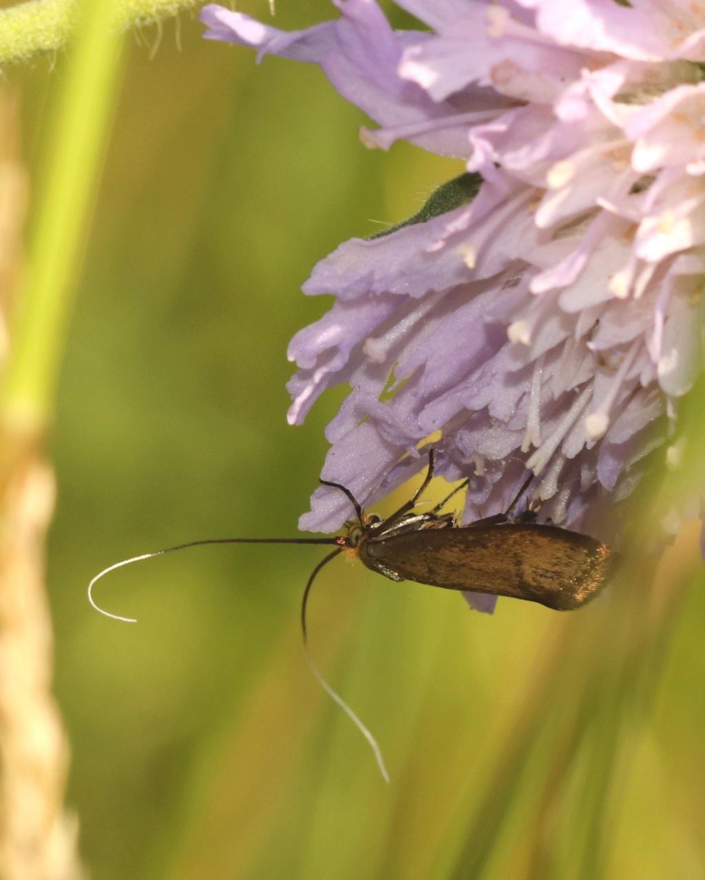 Nemophora metallica Nemoph10