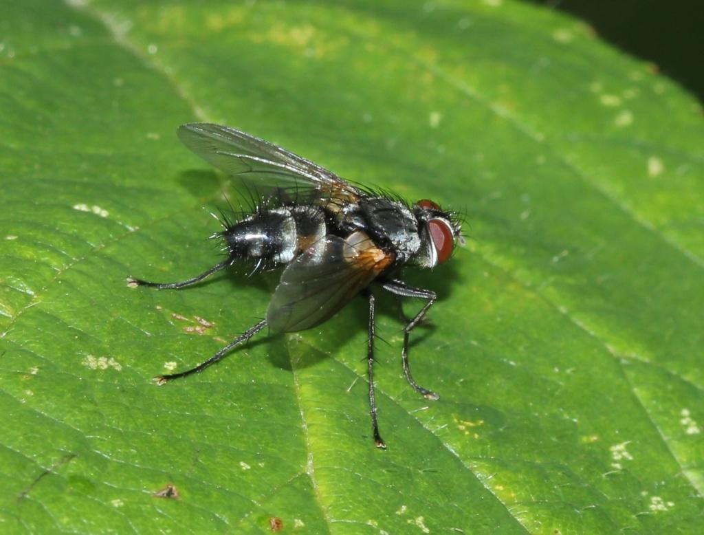 Lydella thompsoni T10