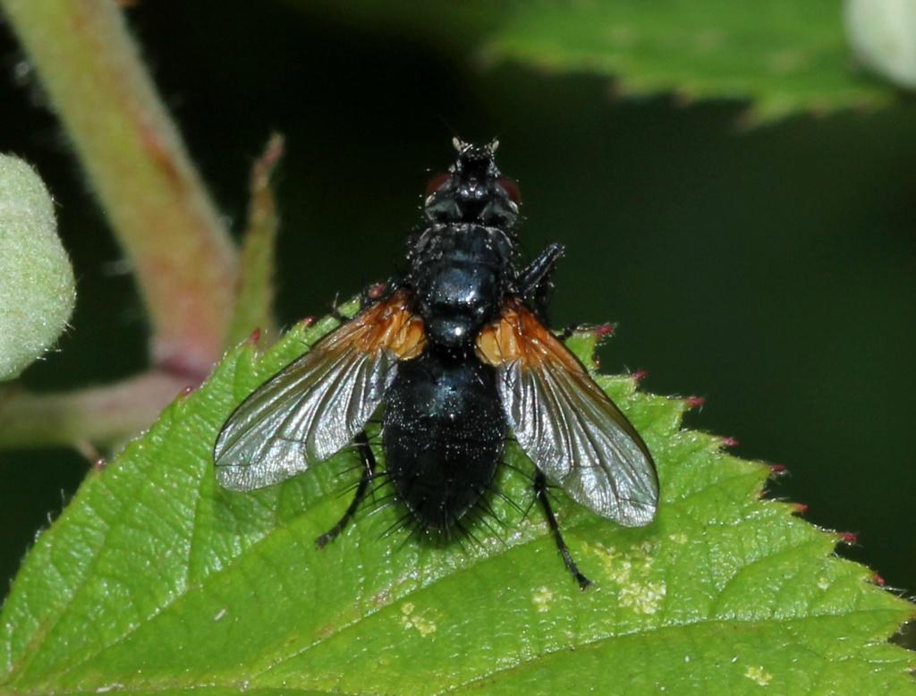 Zophomyia temula ? Zophom12