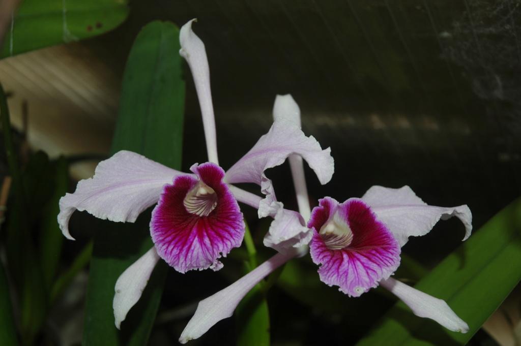 Cattleya purpurata f. flamea 'Dos Ganchos' Laelia10