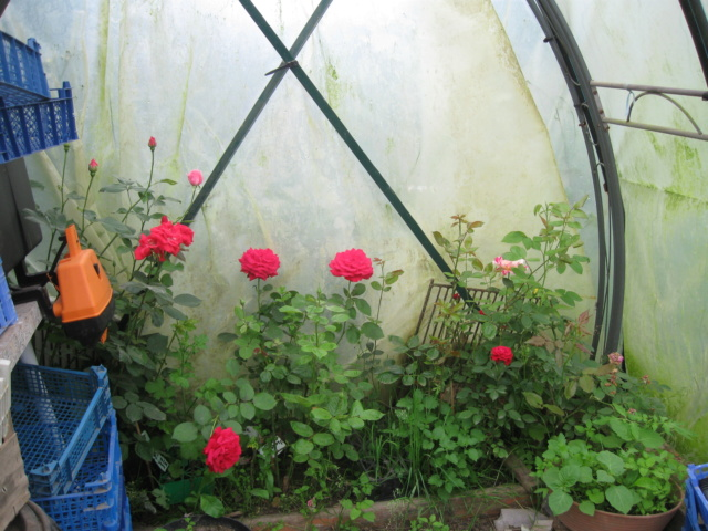 boutures de rosiers Fleurs13