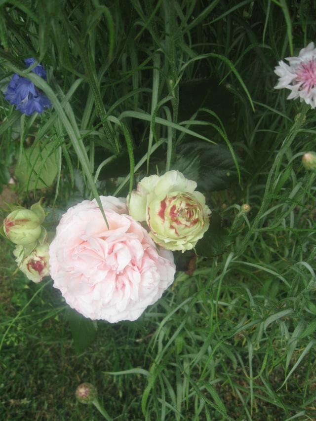 boutures de rosiers Flor_210
