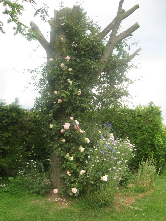 boutures de rosiers Flor_211