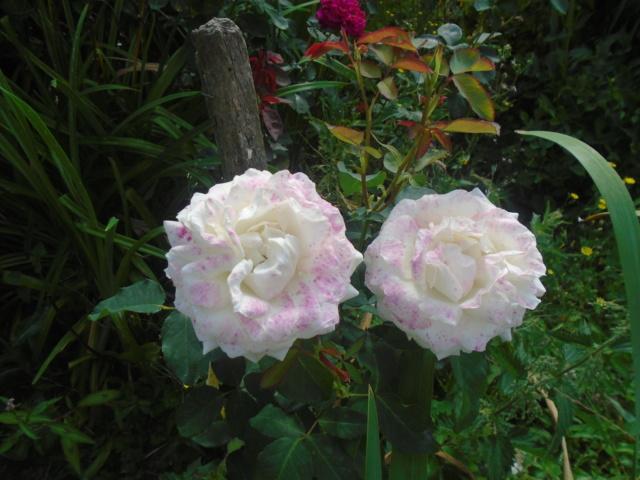 boutures de rosiers Rose_b10