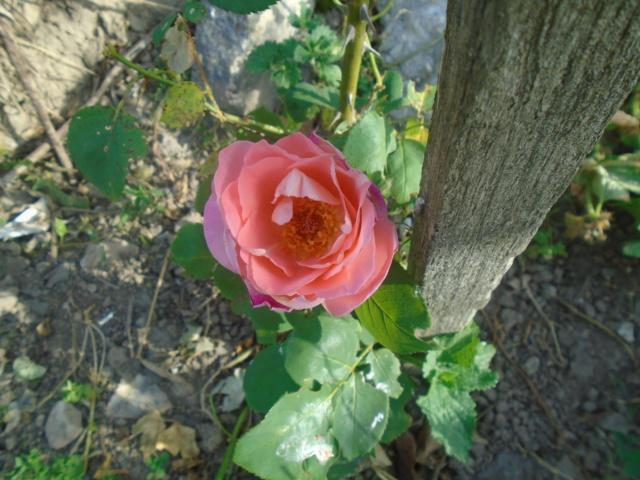 boutures de rosiers Rose_d10