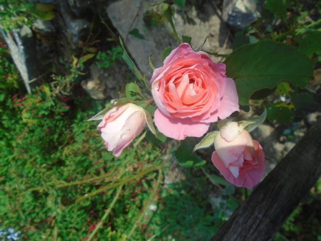 boutures de rosiers Rose_d11