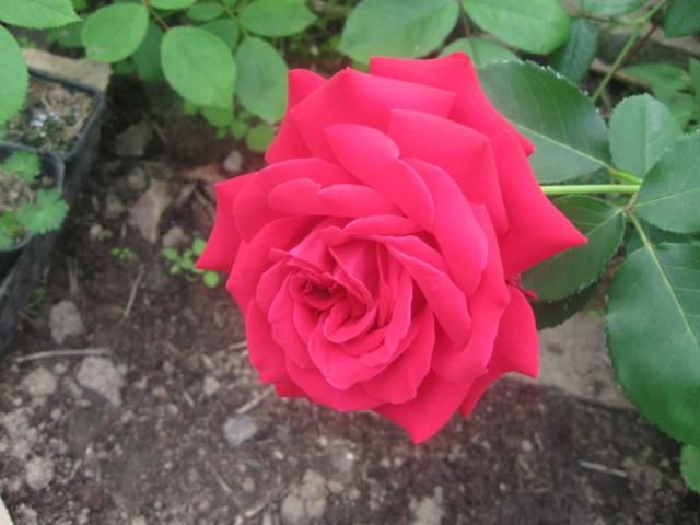 boutures de rosiers Rose_l11