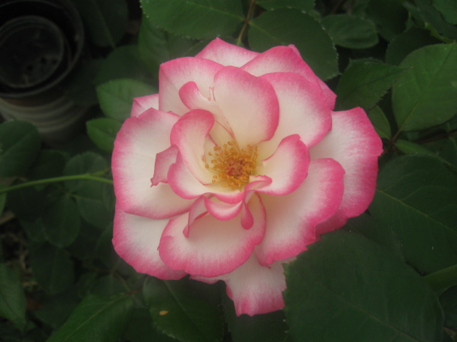 boutures de rosiers Rose_l12