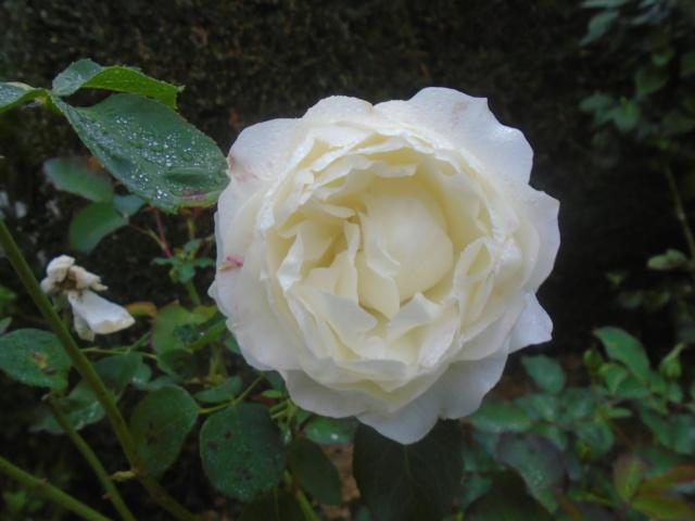 roses de septembre  Roses_15