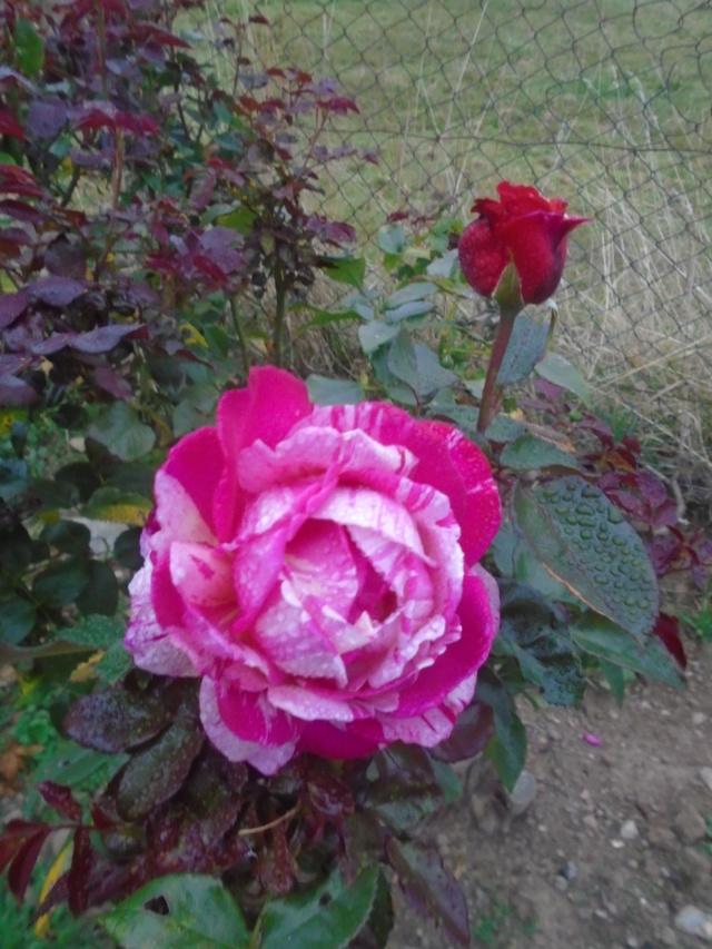 roses de septembre  Roses_16