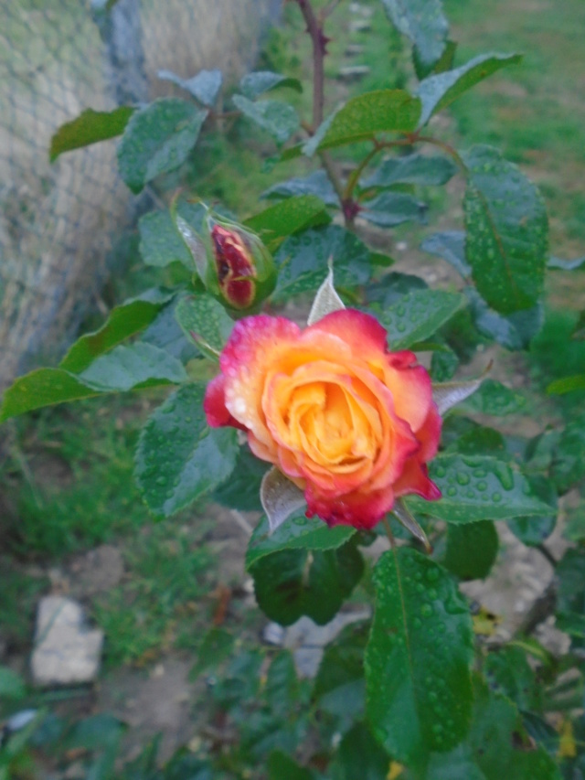 roses de septembre  Roses_17