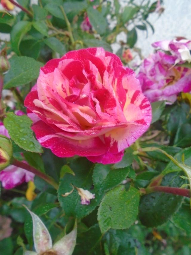 roses de septembre  Roses_18