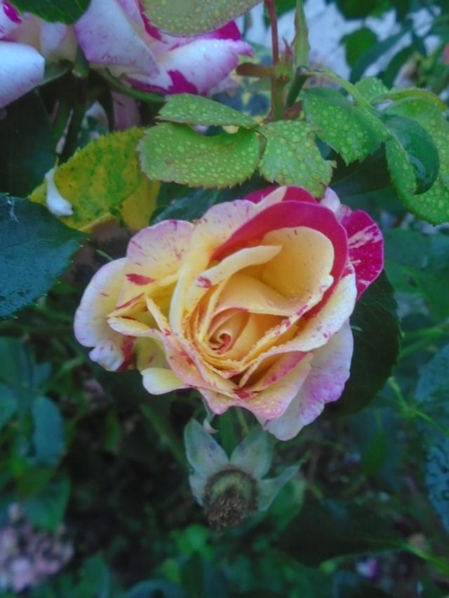 roses de septembre  Roses_19