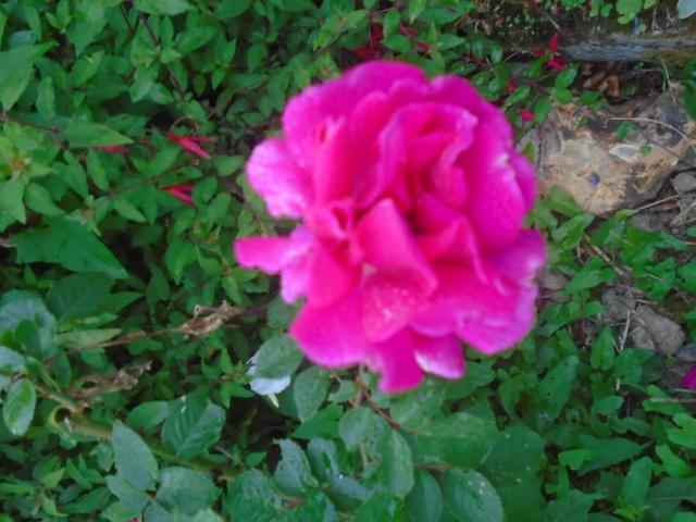 roses de septembre  Roses_21