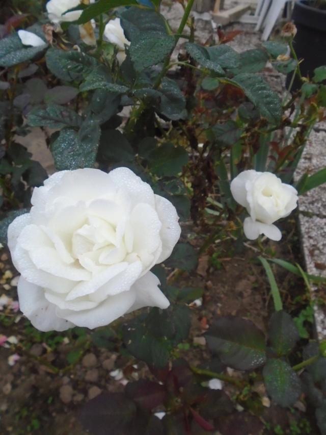 roses de septembre  Roses_23