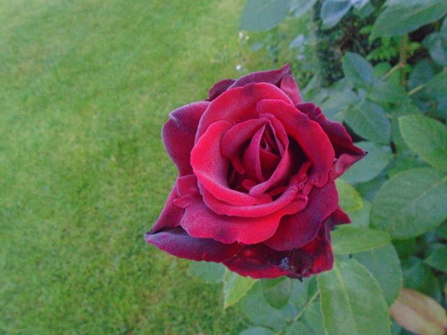 boutures de rosiers Rosier10