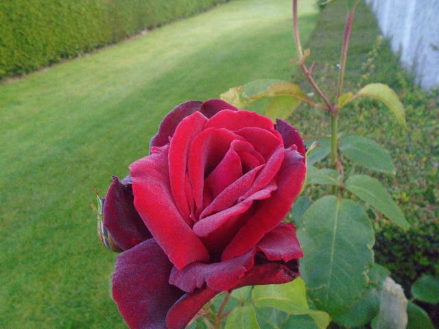 boutures de rosiers Rosier11