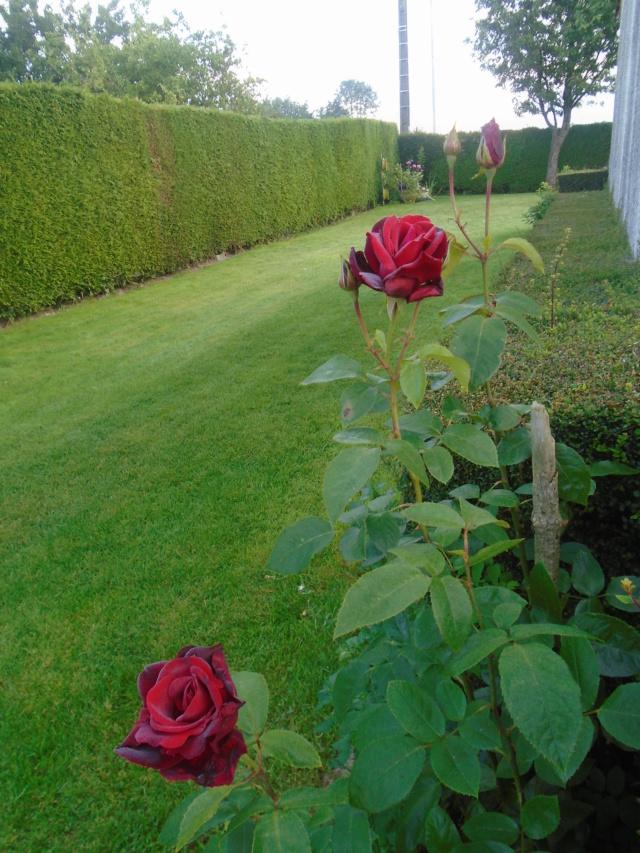 boutures de rosiers Rosier12