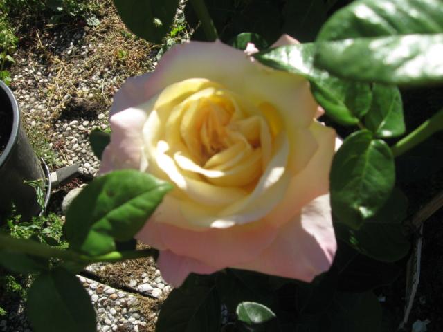 boutures de rosiers Rosier13