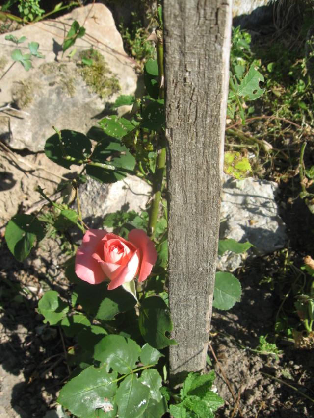boutures de rosiers Rosier14