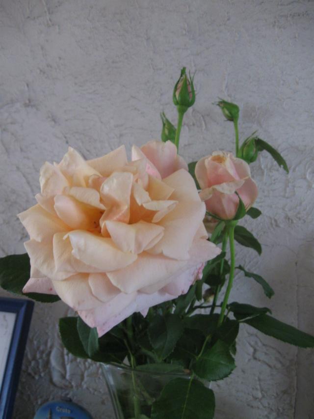 boutures de rosiers Rosier15