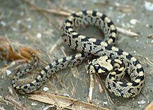 Serpent Francais 220px-10