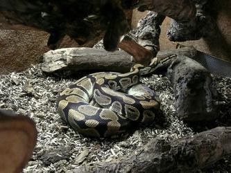 [Fiche] Python regius 728f8810