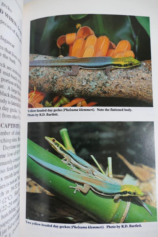 Gecko de Madagascar  Dg210