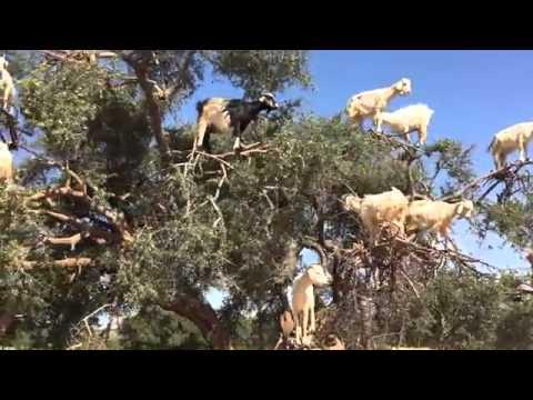 Mouton Paresseux Hqdefa10