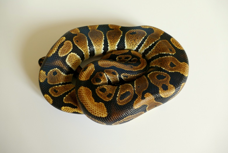 Python regius F1 2018  - Page 2 Numzor13