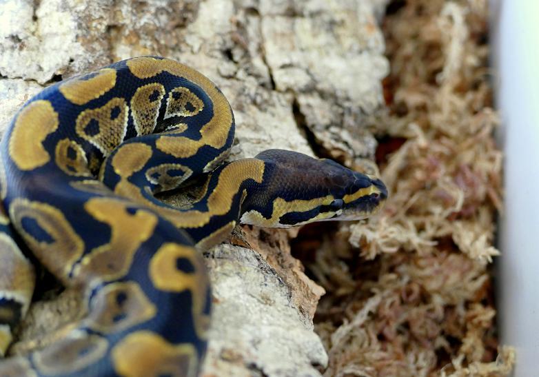 Python regius F1 2018  Pr210