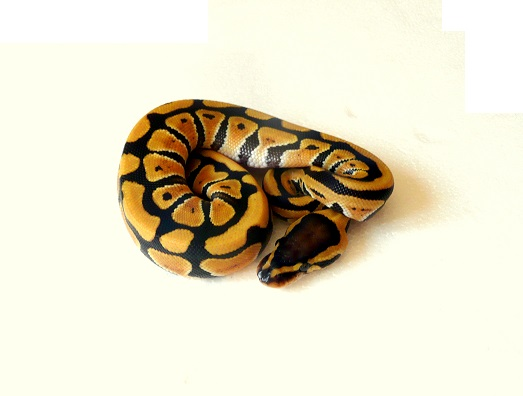 CDC/CDG - Page 2 Python10