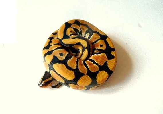 CDC/CDG - Page 42 Python11