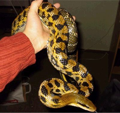 Premier lézard... puis serpent Zata_o10